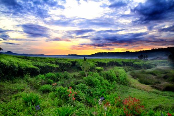 pemandangan-sunrise-di-kebun-teh-kayu-aro-jambi